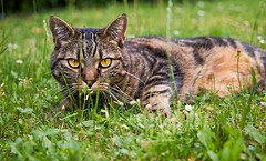 Lurking (Rahil C.) Tags: cat grass green nature wildlife cats cute eyes edited vibrant catography