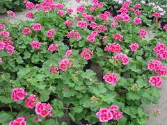 DSC07374 (Bristolsun) Tags: bullards3rdsaturdays bullardsgreenhouseandfarmmarket elkhart indiana freshstrawberries