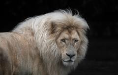 Transvaal-Löwenmann (Fritz Zachow) Tags: raubkatze raubtier katze löwen säugetier deutschland europa