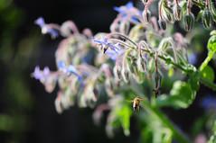 Die Biene (peterwoelwer) Tags: bienenweide boragoofficinalis borretsch