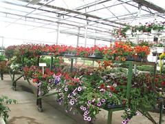 DSC07370 (Bristolsun) Tags: bullards3rdsaturdays bullardsgreenhouseandfarmmarket elkhart indiana freshstrawberries
