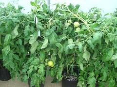 DSC07369 (Bristolsun) Tags: bullards3rdsaturdays bullardsgreenhouseandfarmmarket elkhart indiana freshstrawberries