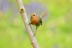 Txantxangorri bizkorra (josuneetxebarriaesparta) Tags: txindorra txantxangorria hegaztia txoria ave pájaro bird animalia animal