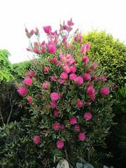 Callistemon 'Hot Pink' (wallygrom) Tags: england westsussex eastpreston mygarden mygarden2019 june2019
