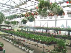 DSC07379 (Bristolsun) Tags: bullards3rdsaturdays bullardsgreenhouseandfarmmarket elkhart indiana freshstrawberries