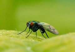 Shiny green flies etc. (REGOR NOTPUL) Tags: nglegged flies bugs glenburnie ontario