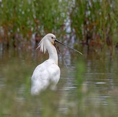 Spoonbill (kc02photos) Tags: spoonbill platalealeucorodia wellsnextthesea norfolk england uk birdphotography