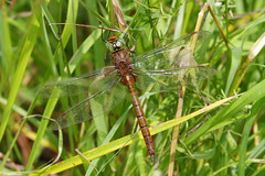 Norfolk Hawker (Hugobian) Tags: dragonfly dragonflies damselfly insect nature wildlife fauna pentax k1 paxton pits reserve norfolk green eyed hawker