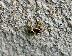 Fishfly and Zebra Jumping Spider (REGOR NOTPUL) Tags: fishfly zebra jumping spider glenburnie ontario
