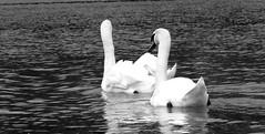 Cygnes blanc et noir (bernard.bonifassi) Tags: bb088 06 alpesmaritimes lacdubroc lac eau valléeduvar oiseau palmipéde cygne monochrome noiretblanc