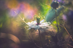 Trioplan Art (Dhina A) Tags: sony a7rii ilce7rm2 a7r2 a7r trioplan 100mm f28 meyeroptiktrioplan100mmf28 meyeroptik meyer optik 15blades m42 circle bokeh bubble artistic painting painterly