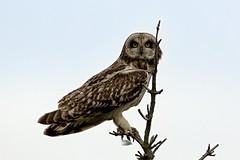 Asio flammeus (chavko) Tags: shorteared owl asio flammeus jozefchavko slovakia predators flickr myšiarka močiarna canon