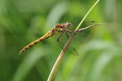 Common Darter (Hugobian) Tags: dragonfly dragonflies damselfly insect nature wildlife fauna pentax k1 paxton pits reserve common darter