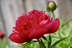 Heirloom Peony (Linda Ramsey) Tags: june ontario backyard outdoors nature garden bloom flower red peonies peony