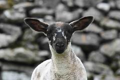 Lamb (PhotoCet) Tags: photocet sheep lamb lambs