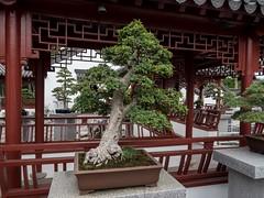P6137783 (Copy) (pandjt) Tags: tree quebec montreal bonsai chinesegarden elm botanicalgarden travelogue jardinbotanique montrealquebec springtimecourtyard chineseelm culturalgarden