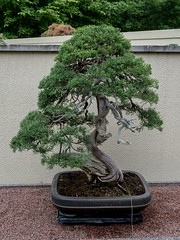 P6137851 (Copy) (pandjt) Tags: tree japanesegarden quebec montreal bonsai botanicalgarden travelogue jardinbotanique montrealquebec sargentjuniper culturalgarden