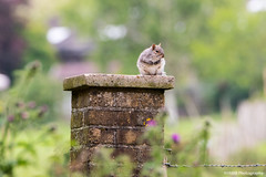 """""""King of the Castle"""" (SMRB Photography) Tags: squirrel greysquirrel"""