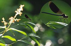ważka Dragonfly Libelle -ogród Unser-wilder-Garten  Our-savage-garden (arjuna_zbycho) Tags: badenbeiwien kurstadt luftkurort austria stadt city miasto thermenregion biosphaerenpark niederösterreich österreich rakousko wienerwald doblhoffpark rosengarten dzikiogród unserwildergarten oursavagegarden naszdzikiogród natur ważka dragonfly libelle macro insect nature insekt makro animal insekten ważki donata owad libellen insets dragonflies odonati οδοντόσ odontos griego gadziogłówka pospolita gomphusvulgatissimus