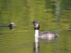 Grèbe-huppé (Podiceps cristatus) -Great Crested Grebe (Dantou007) Tags: nager eau belgique extérieur hainaut grèbehuppé grebe greatcrestedgrebe swimming podicepscristatus
