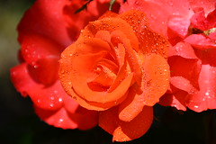 DSC_6122 (griecocathy) Tags: macro rose gouttelette eau éclat brillance orange