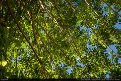 A thousand leaves... (Ludtz) Tags: ludtz leica leitz leicamtyp240 m240 wetzlar summicronc40|2 summicron télémètre télémétrique rangefinder printemps spring arbres arbre trees tree feuilles vert green leaves