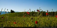 Coquelicots (Ludtz) Tags: ludtz leica leitz leicamtyp240 m240 wetzlar summicronc40|2 summicron télémètre télémétrique rangefinder printemps spring poppies coquelicot fleurs flowers red rouge châteaudeau watertower croixderozon