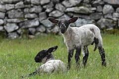 Twin lambs (PhotoCet) Tags: photocet sheep lamb lambs twins