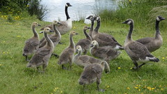 Canada geese (Deanne Wildsmith) Tags: geese goose canadagoose canadageese bird bartonmarina staffordshire earthnaturelife