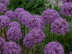 P6138117 (Copy) (pandjt) Tags: montreal quebec montrealquebec travelogue jardinbotanique botanicalgarden flower usefulplantsgarden allium globemaster
