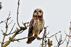 Asio flammeus (chavko) Tags: shorteared owl asio flammeus jozefchavko slovakia predators flickr