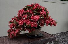 P6137848 (Copy) (pandjt) Tags: tree japanesegarden bush quebec montreal bonsai azalea botanicalgarden travelogue jardinbotanique montrealquebec culturalgarden