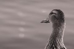 Untitled / Без названия (Boris Kukushkin) Tags: duck closeup portrait bw утка крупный план портрет чб