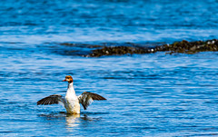 Female Goosander At Mouth of River Dee, Aberdeen Harbour.
