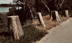 #LakeMerced #Walk #SanFrancisco (Σταύρος) Tags: cuttree cuttrees parkmerced june9 sunday four cardio exercise beautifulday thelake sfist treestumps lakemerced walk sanfrancisco