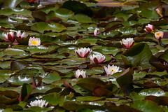 sheffield park and gardens-190527-38.jpg (Phil Mercer-Kelly) Tags: england sheffieldpark uk gardens mercerkelly eastsussex nationaltrust philmercer europe capabilitybrown