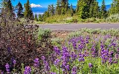 Wildflowers on Hamaker Mountain in Keno, Oregon. (lhboudreau) Tags: