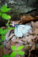 Baum-Weißling (waltsphoto) Tags: schmetterling insekt sommer tagfalter