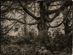 """Groenenberg trees"" (patrickvandenbranden) Tags: 8x10 belgium alternativeprocess bw blackandwhite darkroom fineart glassplate monochrome naturallight nature orotone outdoor procédéalternatif"