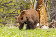 Looking large (ChicagoBob46) Tags: cinnamonblackbear blackbear cinnamon bear yellowstone yellowstonenationalpark nature wildlife naturethroughthelens coth5 ngc npc