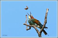 Guêpier papillon 190619-01-P (paul.vetter) Tags: oiseau ornithologie ornithology faune animal bird guêpierdeurope meropsapiaster europeanbeeeater bienenfresser abejarucoeuropeo coraciiformes