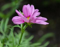 Cosmos (mahar15) Tags: plant flowers pinkflower nature flower pink outdoors pinkcosmos bloom cosmos petals cosmosflower