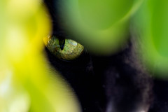Holly (RavenPHD) Tags: cat meow eye green plant jade detail macro upclose leaf nose cute furry pet kitten kitty