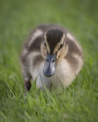 Duckling (cazalegg) Tags: mallard ducks duckling ducklings water cute wildlife nature d500 nikon grass pond bird birds