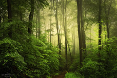My green heart (4) (Rita Eberle-Wessner) Tags: mygreenheart forest wald woods bäume trees fog nebel atmosphäre atmosphere mood waldweg forestpath zauberwald magic odenwald laubwald buchen beeches juhöhe magisch nature natur green grün