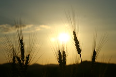 Wheat at sunset (Cristian Marchi) Tags: tramonto frumento sunset wheat ears levnoc 443 helios 58mm