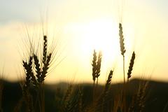 IMG_3977 (Cristian Marchi) Tags: tramonto frumento sunset wheat ears levnoc 443 helios 58mm