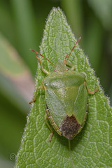 _IMG0883  Common Green Shieldbug (Pete.L .Hawkins Photography) Tags: shieldbug old moor rspb petehawkins petelhawkinsphotography petelhawkins petehawkinsphotography 150mm irix macro pentaxpictures pentaxk1 petehawkinsphotographycom f28 11 fantasticnature fabulousnature incrediblenature naturephoto wildlifephoto wildlifephotographer naturesfinest unusualcreature naturewatcher insect invertebrate bug 6legs compound eyes creepy crawly uglybug bugeyes fly wings eye veins flyingbug flying beetle shell elytra ground