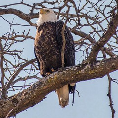 Power and grace (tgoral04) Tags: sharp clear love goodmorning beauty outdoorsy outdoorsphotographer wildlifecapture nature'sbeautiful birdsofprey mn minnesota nature outdoors wildlifephotography wildlife baldeagle eagle birds bird