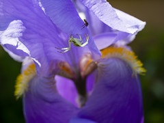 Two spiders on an iris (Raoul Pop) Tags: animal bloom blossom color exposure flower garden home insect iris macro medias plant purple spider spring time transilvania vegetal vegetation